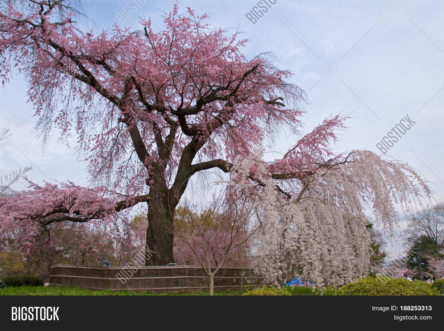 Weeping cherry tree image photo free trial bigstock weeping cherry tree with blue sky in japan izmirmasajfo