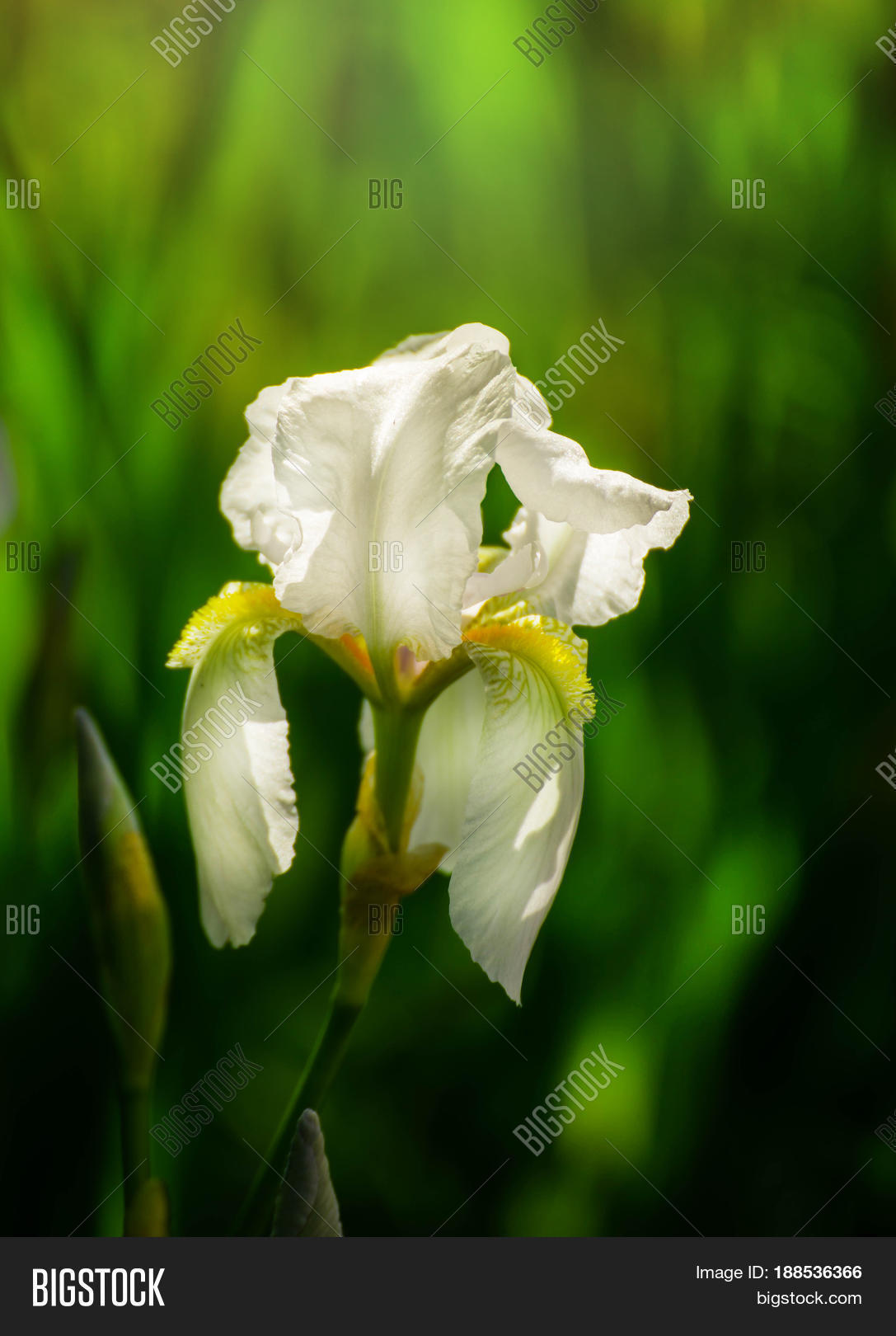 Beautiful flowers image photo free trial bigstock beautiful flowers of white iris beautiful irises on green background a white iris plant izmirmasajfo
