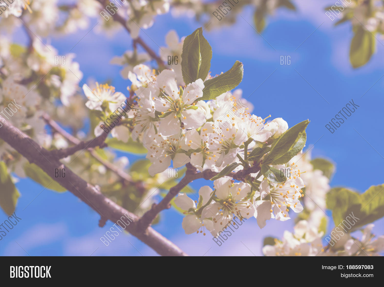 Big White Flowers Pear Image Photo Free Trial Bigstock