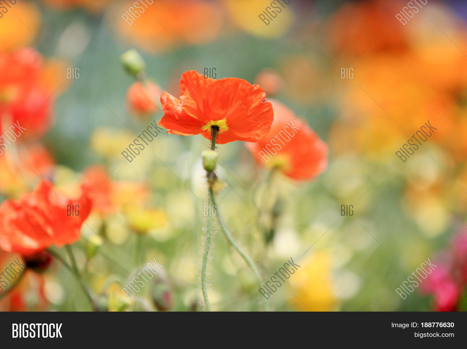 California Poppy Image Photo Free Trial Bigstock