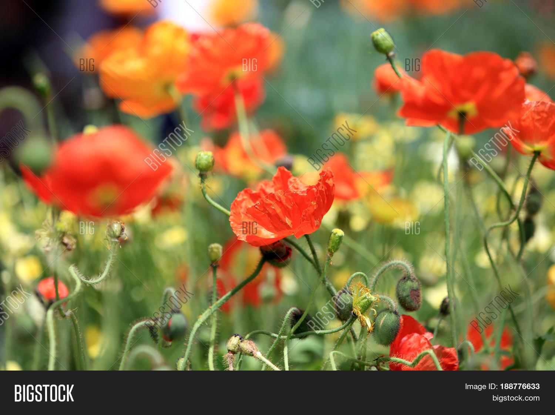 California Poppy Image Photo Free Trial Bigstock