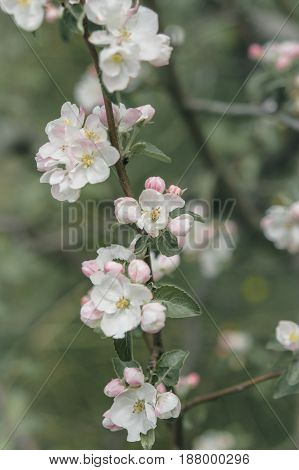 White And Pink Flowers Of An Apple Tree