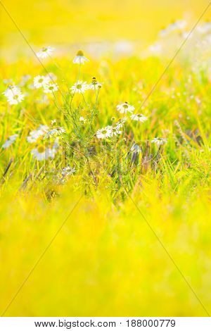 Bunch of marguerite flowers at bright colorful yellow and green blurred meadow background (copy space)