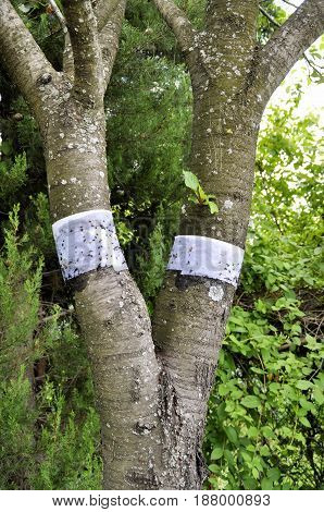 Snowboard belts on a tree for protection against ants