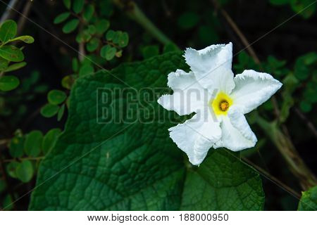 Beautiful white flower with green leave background.