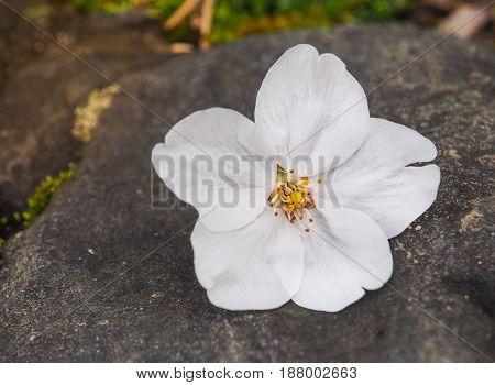 Beautiful White Sakura Flowers On The Stone, Selective Focus
