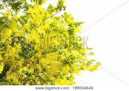 Yellow tree on isolated white background .