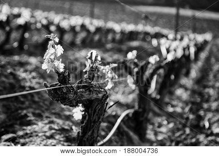 Vineyard detail of some vineyards in the countryside vineyards wine