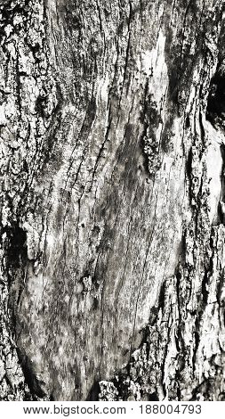 Macro of a bark of olive tree, Nature