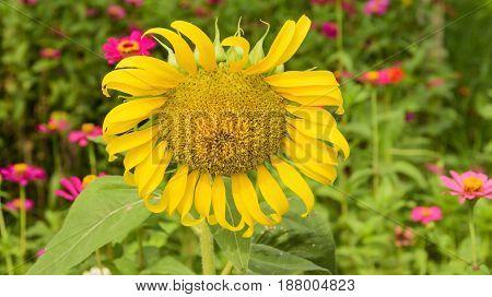 Sunflower in garden with pink flowers .