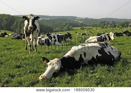 Cows in field pasture in south-west Germany. Summer sunny day.