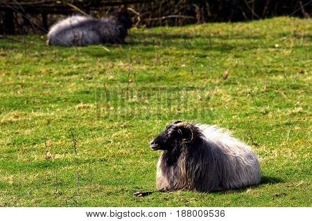 Ram warm oneself on sun at pasture. Summer sunny day.