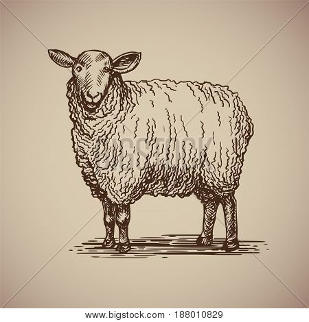 Sheep in sketch style. Vector illustration livestock drawn by hand. Farm animals on gray background.