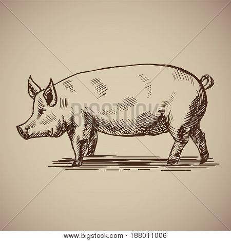 Pig in sketch style. Vector illustration livestock drawn by hand. Farm animals on gray background.