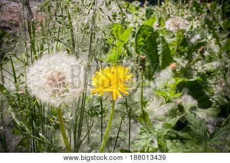 Two Dandelion White And Yellow Among Green Grass.
