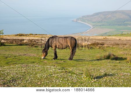 Exmoor pony in national park with Porlock Somerset coast on a summer evening
