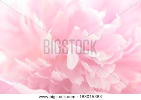 Fresh pink peony flower petals macro shot, elegant natural floral wedding background