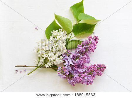Blooming pink lilac flowers - floral background Lilac on white background