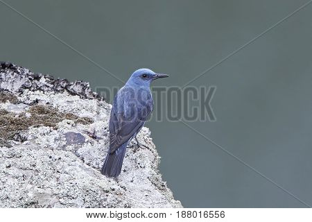 Blue rock thrush sitting on a rock in its natural habitat
