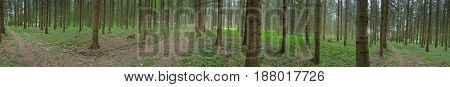 Germany: Panorama Of Pine Forest In Lower Saxony