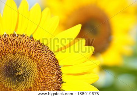 Yellow Sunflower field in sunny summer day