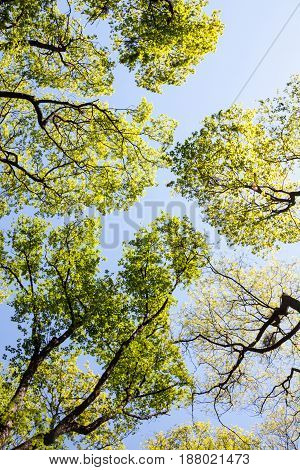 Green treetops against the sky in a spring day. Bottom view.