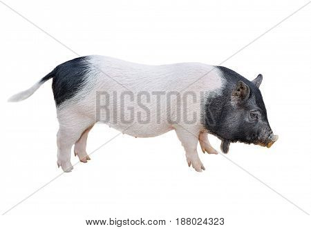 Funny spotted vietnamese piglet isolated on white. Pot-bellied young pig full length isolated on white background. Farm animals.