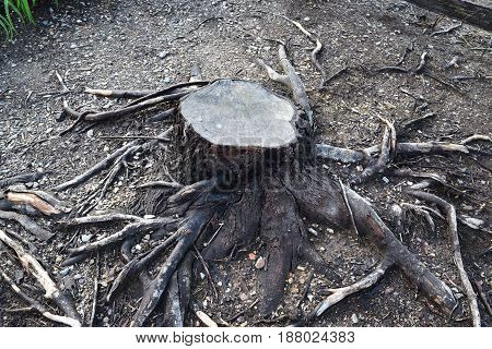 Cut tree trunk and sprawling roots formation