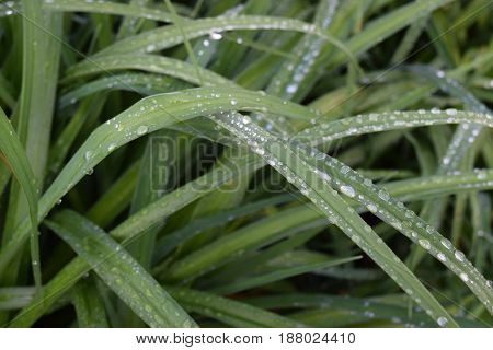 Green daylily leaves with rain droplets on top