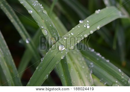 Green daylily leaves covered with rain water