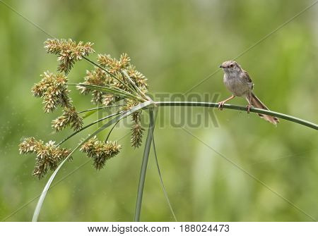Clamorous Reed Warbler Perched On Plant Stem