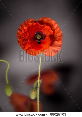 Poppy Flowers, Poppy, Motley Poppy Flowers