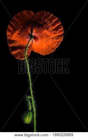 Poppy Flowers, Poppy, Motley Poppy Flowersd, Bright, Vivid, Colourful, Shining, Flamboyant, Glaring,