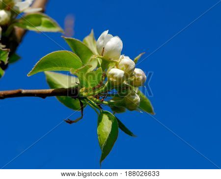 Pear flowers on a blue sky background in a spring sunny day