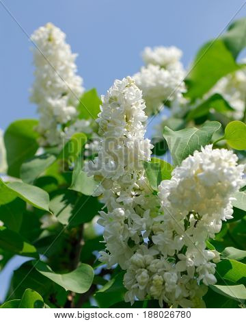 Flowers of a white lilac on a blurred background in a spring sunny day