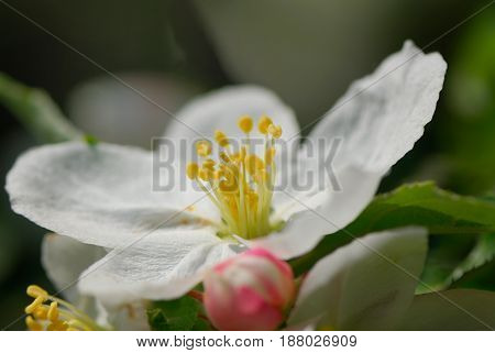Flowers of an apple tree on a blurred background in a spring sunny day