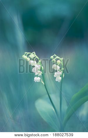 Delicate lily-of-the-valley flowers on a beautiful background. Spring lily of the valley.