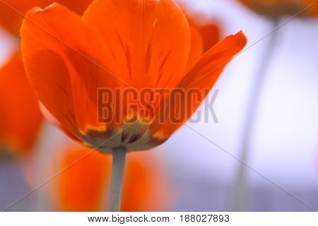 Bright red tulips. Lower shooting point. Soft focus