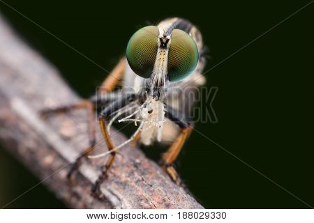 Super macro Robber fly with prey in nature