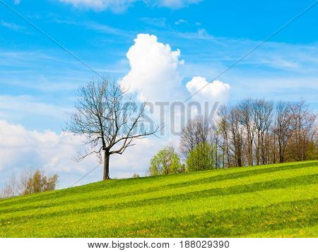 Freshly mown lush green meadow with a small tree, blue sky and white clouds on a sunny day. Spring landscape.