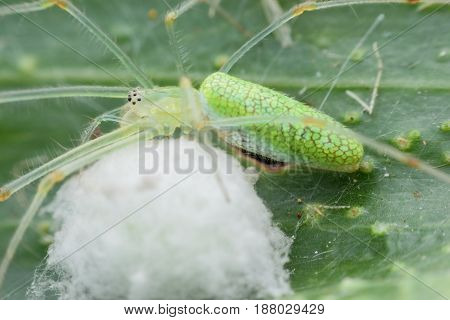 Close up green spider protecting its eggs
