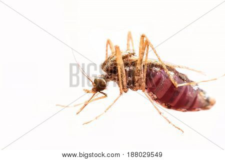 Super macro female mosquito sucking blood isolated on white background