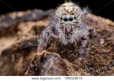 Super macro female Hyllus diardi or Jumping spider on rottedwood