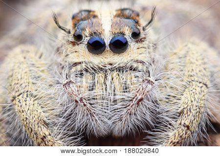 Super macro female Hyllus diardi or Jumping spider