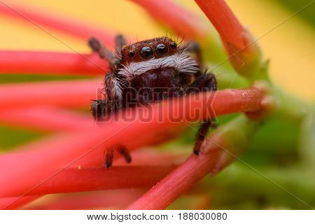 Super macro Jumping spider on Ixora flower