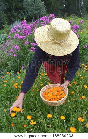 senior woman gardener with straw hat gathering fresh marigold calendula medical flowers