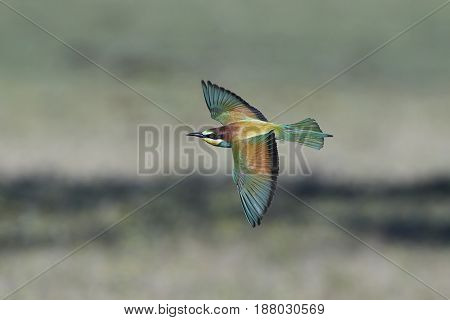 European bee-eater in flight with vegetation in the background