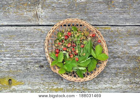 Wild strawberry for tea in small wicker basket on old table background