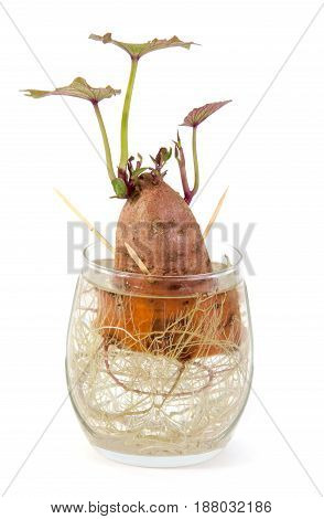 yam plant regrowth on water glass over white background