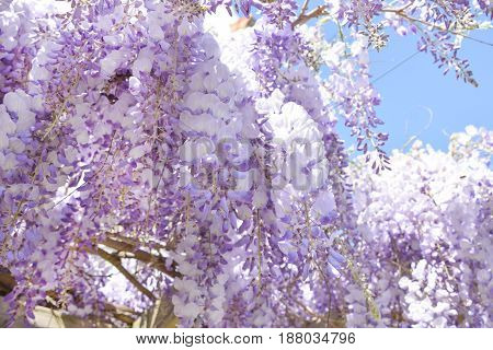Blooming purple wisteria in spring in France